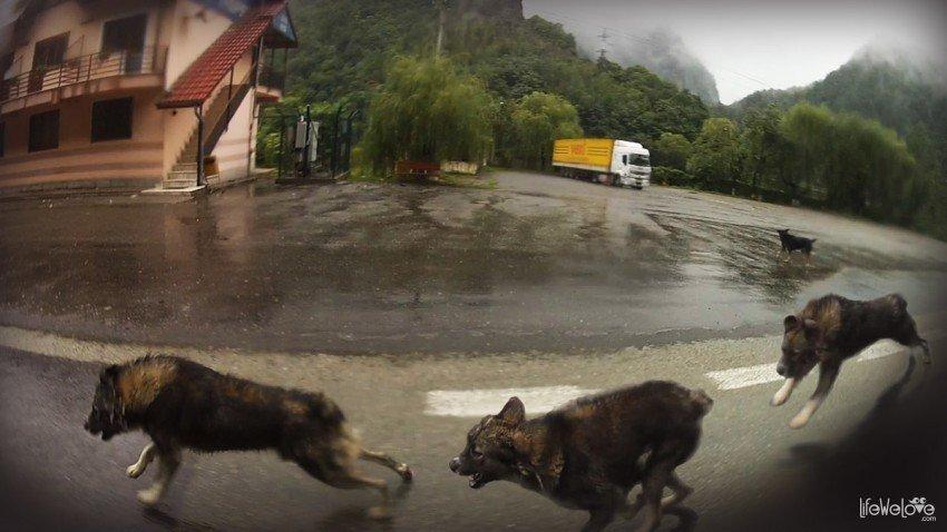 Rumuńskie psy