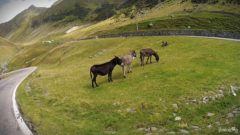 Wild donkeys on the side of Fagaras Mountains, Romania