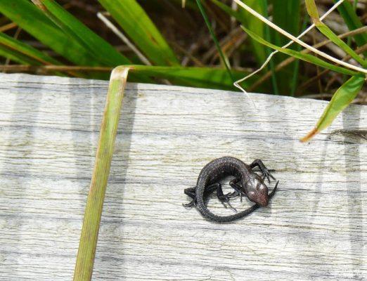 jaszczureczka