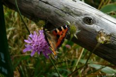 Butterfly in Bieszczady Mountains