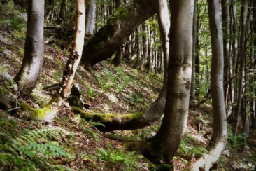 Trees - Bieszczady Mountains
