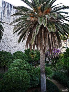 Dubrownik palma