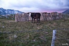 Durmitor cow