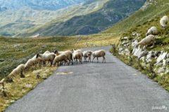 Durmitor owce