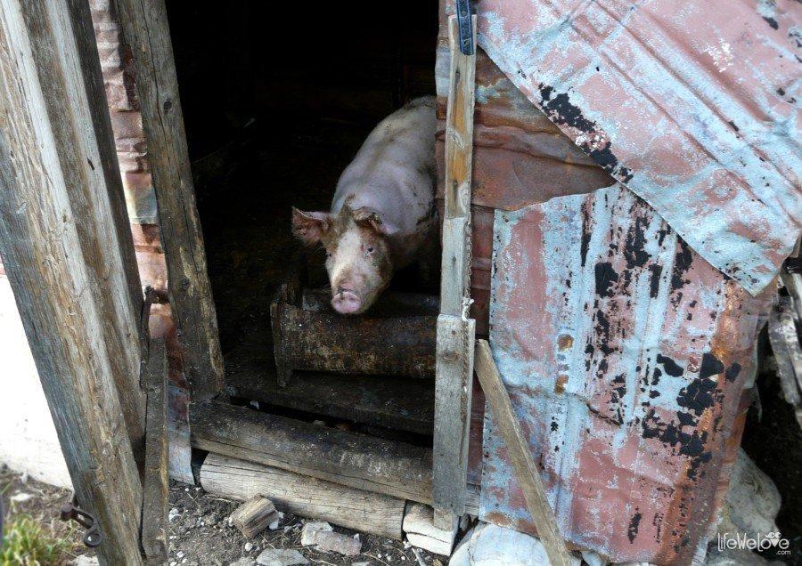Montenegro Pig
