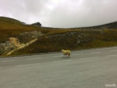 Sheep on the Grossglockner Alpine Road