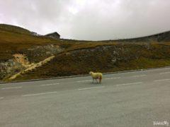 Owca na drodze Grossglockner