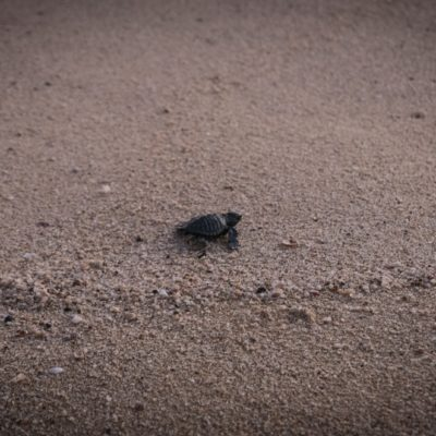 Leatherback sea turtle hatchlings make their way to the ocean