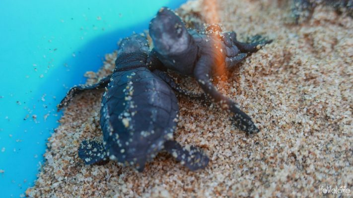 Leatherback sea turtle hatchlings