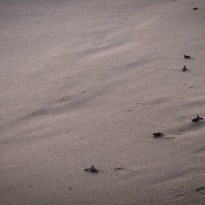 Żółwie skórzaste w drodze do oceanu