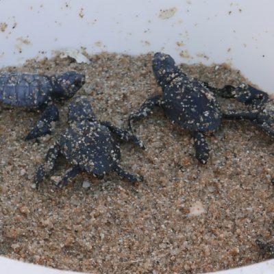 Leatherback sea turtle hatchlings