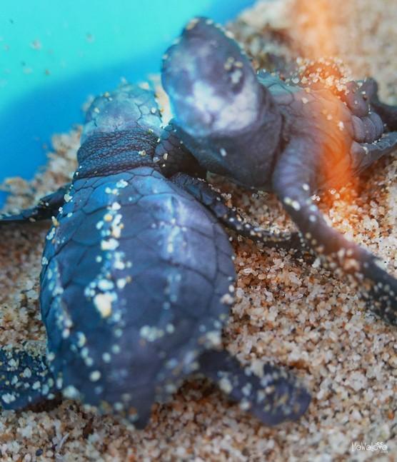 Tortugas Leatherback