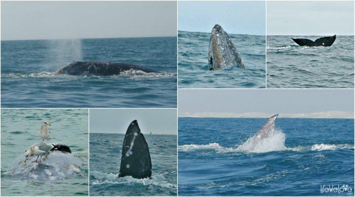 Wieloryb szary